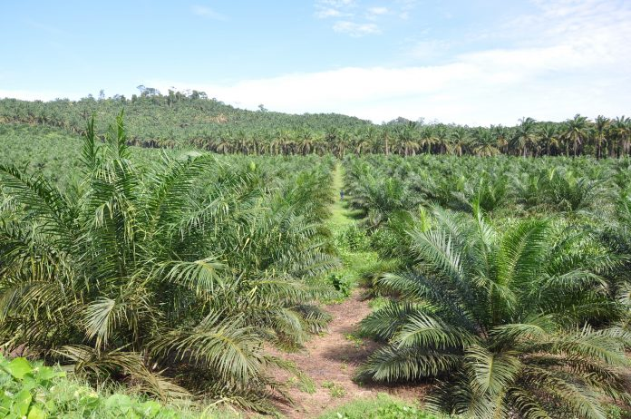 Indonesian And Malaysian Palm Oil At A Crossroads